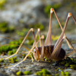 Camel crickets in Knoxville TN - Russell's Pest Control