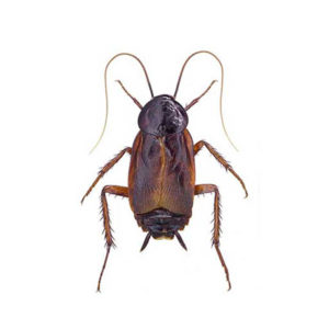 Oriental cockroach identification and information in Knoxville TN - Russell's Pest Control