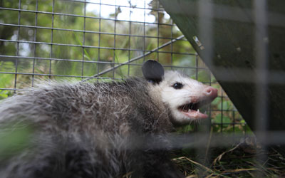 Wildlife trapping services in Knoxville TN - Russell's Pest Control